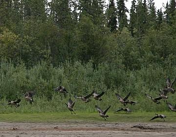 Geese on Nisutlin River