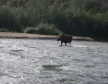 Young bull moose charging the canoe in riffle